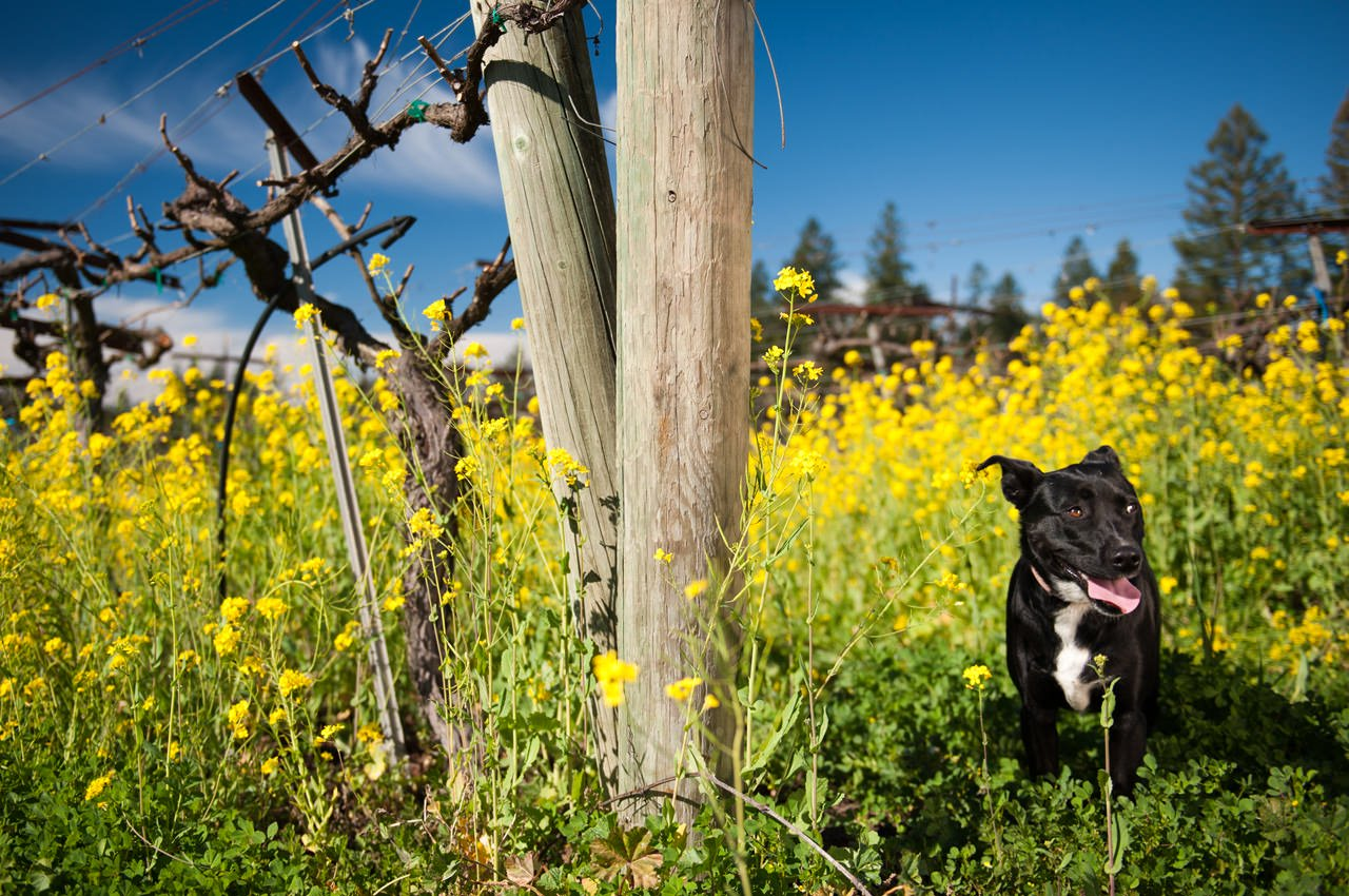 Heintz Vineyards Dog